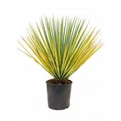 Юкка rigida стебель Диаметр горшка — 28 см Высота растения — 100 см