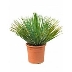 Юкка rostrata head Диаметр горшка — 32 см Высота растения — 70 см