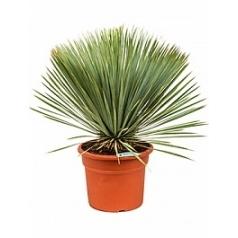 Юкка rostrata head Диаметр горшка — 38 см Высота растения — 85 см