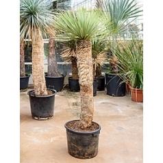 Юкка rostrata стебель (100) Диаметр горшка — 35 см Высота растения — 165 см