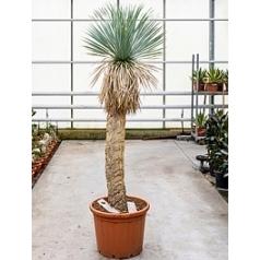 Юкка rostrata стебель (130-140) Диаметр горшка — 50 см Высота растения — 225 см
