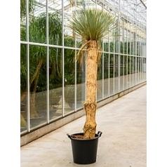 Юкка rostrata стебель (130-150) Диаметр горшка — 50 см Высота растения — 230 см