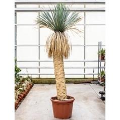 Юкка rostrata стебель (150-160) Диаметр горшка — 55 см Высота растения — 260 см