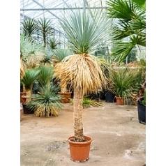 Юкка rostrata стебель (150) Диаметр горшка — 45 см Высота растения — 240 см