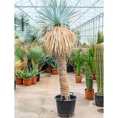 Юкка rostrata стебель (160) Диаметр горшка — 48 см Высота растения — 260 см