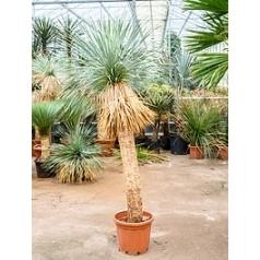 Юкка rostrata стебель (160) Диаметр горшка — 45 см Высота растения — 220 см