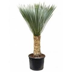 Юкка rostrata стебель (40-50) Диаметр горшка — 35 см Высота растения — 120 см