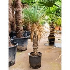 Юкка rostrata стебель (40-60) Диаметр горшка — 35 см Высота растения — 140 см