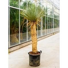 Юкка rostrata стебель (70-90) Диаметр горшка — 38 см Высота растения — 150 см