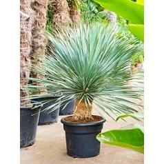 Юкка rostrata стебель Диаметр горшка — 35 см Высота растения — 120 см