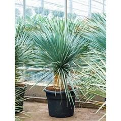 Юкка rostrata стебель Диаметр горшка — 45 см Высота растения — 140 см