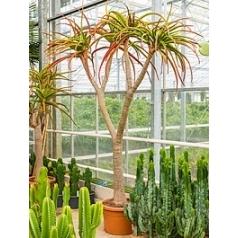 Алоэ bahinesii стебель branched Диаметр горшка — 55 см Высота растения — 260 см