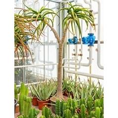 Алоэ bahinesii стебель branched Диаметр горшка — 50 см Высота растения — 275 см