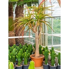 Алоэ bahinesii стебель branched Диаметр горшка — 55 см Высота растения — 280 см
