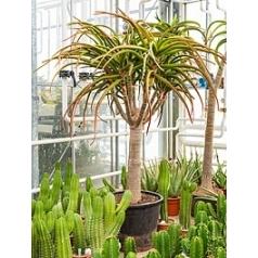 Алоэ bahinesii стебель branched Диаметр горшка — 70 см Высота растения — 275 см