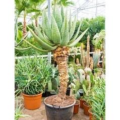 Алоэ marlothii стебель (90) Диаметр горшка — 60 см Высота растения — 210 см