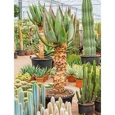 Алоэ marlothii стебель Диаметр горшка — 60 см Высота растения — 190 см