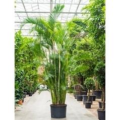 Арека (Хризалидокарпус) lutescens куст Диаметр горшка — 95 см Высота растения — 450 см