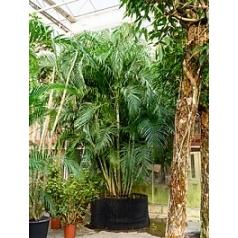 Арека (Хризалидокарпус) lutescens куст Диаметр горшка — 140 см Высота растения — 525 см
