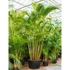 Арека (Хризалидокарпус) lutescens куст Диаметр горшка — 95 см Высота растения — 525 см