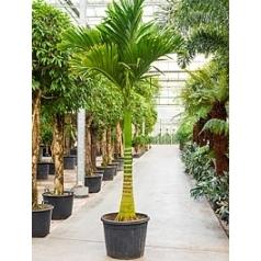 Арека vestiara стебель Диаметр горшка — 70 см Высота растения — 350 см