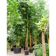 Бамбук vulgaris 3-стебель Диаметр горшка — 55 см Высота растения — 600 см