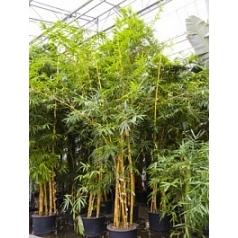 Бамбук vulgaris 3-стебель Диаметр горшка — 70 см Высота растения — 600 см