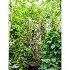 Баррингтония racemosa стебель multi Диаметр горшка — 110 см Высота растения — 575 см