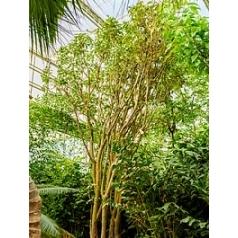 Баррингтония racemosa стебель multi Диаметр горшка — 150 см Высота растения — 750 см