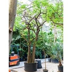 Баухуния (Орхидейное дерево) saccacalyx стебель special Диаметр горшка — 120 см Высота растения — 650 см