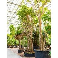 Баухуния (Орхидейное дерево) saccacalyx стебель special Диаметр горшка — 180 см Высота растения — 625 см