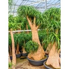 Нолина (Бокарнея) recurvata branched (220-270) Диаметр горшка — 80 см Высота растения — 235 см