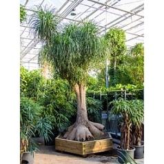 Нолина (Бокарнея) recurvata branched (425-475) Диаметр горшка — 200/200+ см Высота растения — 450 см