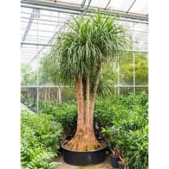 Нолина (Бокарнея) recurvata branched Диаметр горшка — 110 см Высота растения — 300 см
