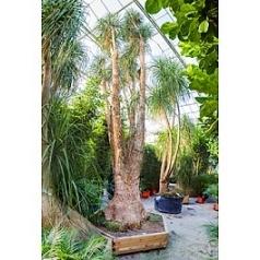 Нолина (Бокарнея) recurvata branched Диаметр горшка — 170/190+ см Высота растения — 850 см