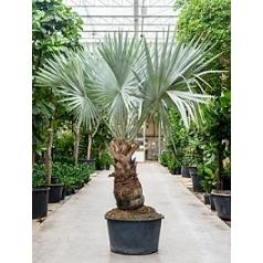 Бисмаркия Нобилис стебель Диаметр горшка — 90 см Высота растения — 350 см