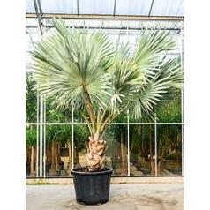 Бисмаркия Нобилис стебель Диаметр горшка — 90 см Высота растения — 375 см