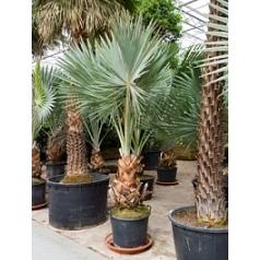 Бисмаркия Нобилис стебель Диаметр горшка — 70 см Высота растения — 400 см