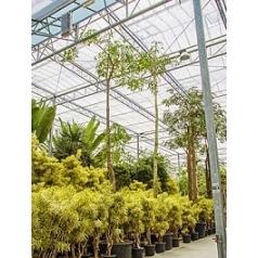 Бомбакс Сейба стебель Диаметр горшка — 120 см Высота растения — 800 см