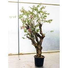 Бугенвиллея glabra стебель bonsai Диаметр горшка — 60 см Высота растения — 240 см