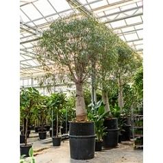 Брахихитон наскальный стебель (500-550) Диаметр горшка — 100 см Высота растения — 500 см
