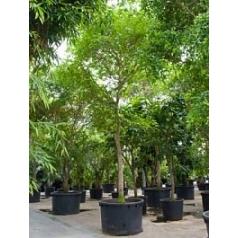 Буцида buceras (grof blad) стебель Диаметр горшка — 140 см Высота растения — 900 см