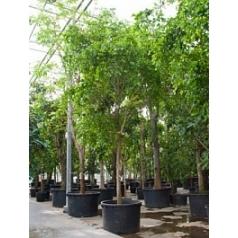 Буцида buceras (grof blad) стебель Диаметр горшка — 120 см Высота растения — 800 см