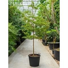 Буцида buceras Шеди Леди стебель (250-275) Диаметр горшка — 55 см Высота растения — 275 см