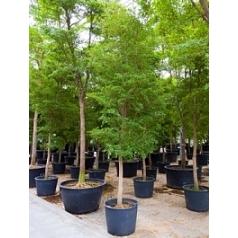 Буцида buceras Шеди Леди стебель (400-450) Диаметр горшка — 70 см Высота растения — 400 см