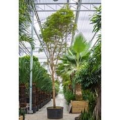 Буцида buceras Шеди Леди стебель Диаметр горшка — 120 см Высота растения — 700 см