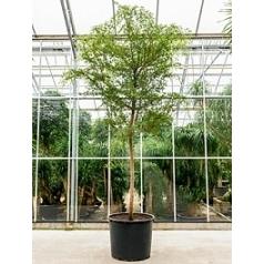 Буцида buceras Шеди Леди стебель Диаметр горшка — 85 см Высота растения — 450 см