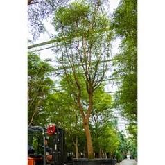 Буцида buceras Шеди Леди стебель Диаметр горшка — 140 см Высота растения — 850 см