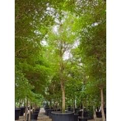 Буцида buceras Шеди Леди стебель Диаметр горшка — 140 см Высота растения — 875 см