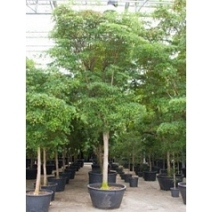Буцида buceras Шеди Леди стебель Диаметр горшка — 120 см Высота растения — 750 см